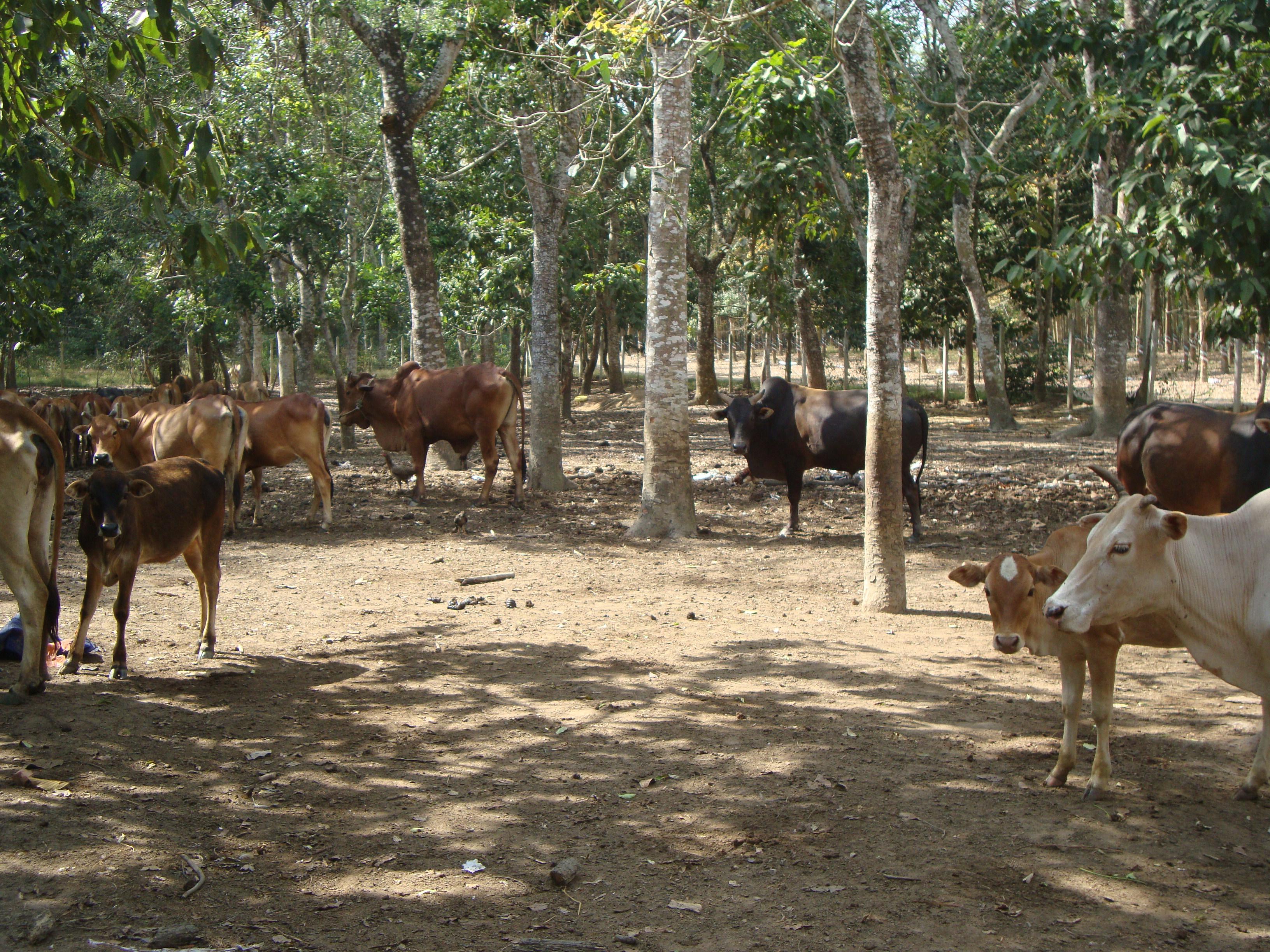 Chăn nuôi trâu bò